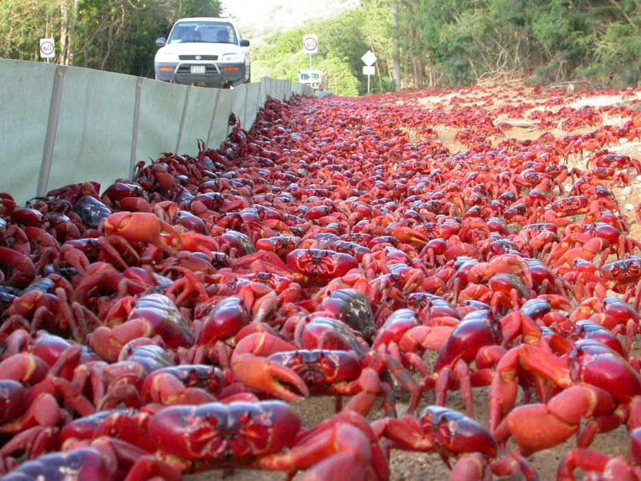 25 - Christmas Island red crab